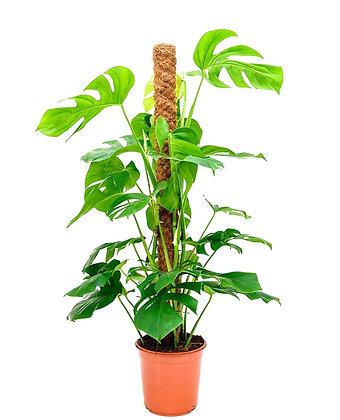 Monstera Moss Stick (90-110cm)