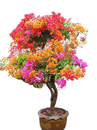 Bougainvillea Multi Color