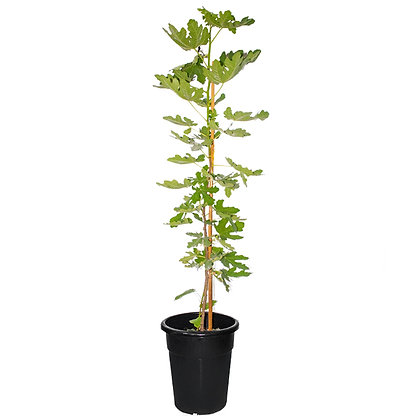 Ficus Lyrata (70-90)
