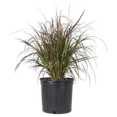Pennisetum Grass Purple