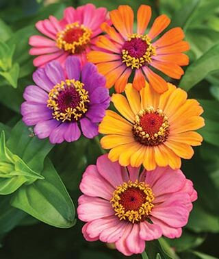 Zinnia Mix Color