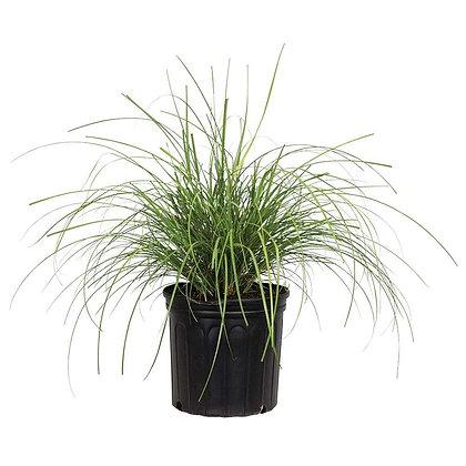 Pennisetum Grass Green