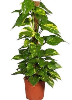 Money Plant (40-60cm)