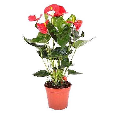 109---red-anthurium-removebg-preview_edi