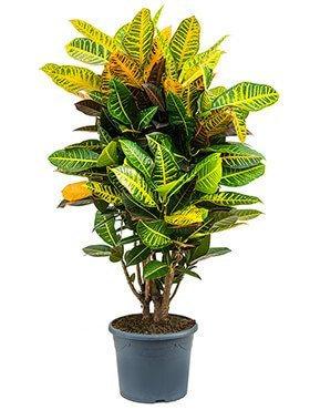 Croton (40-50cm)