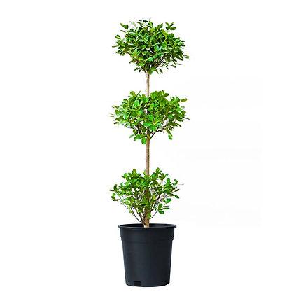Ficus Panda 3 Head