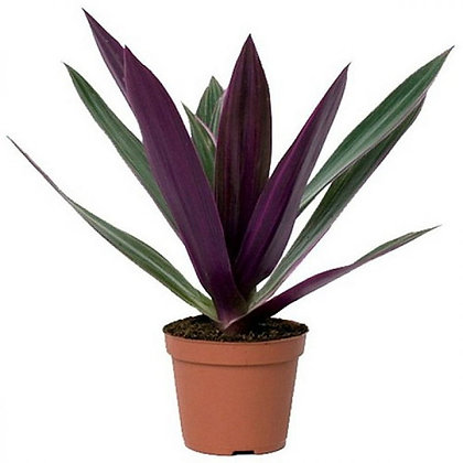 Rhoeo discolor plant