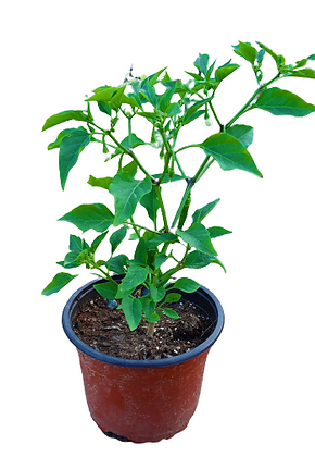 Chilli Vegetable Plant