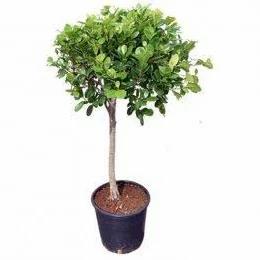 Ficus panda single head
