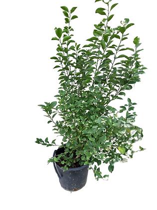 Pakistani lemon plant