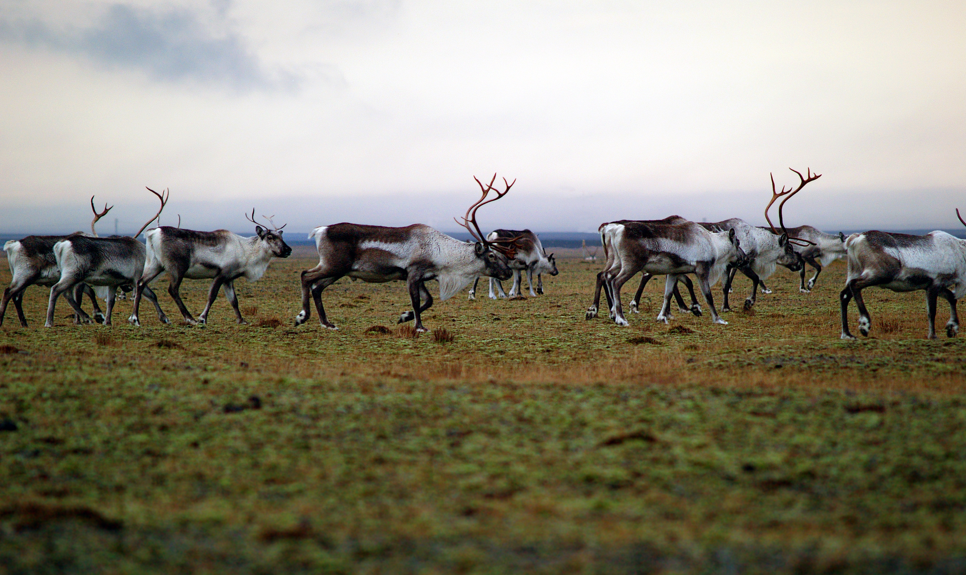 Reindeers in the Eastfjords