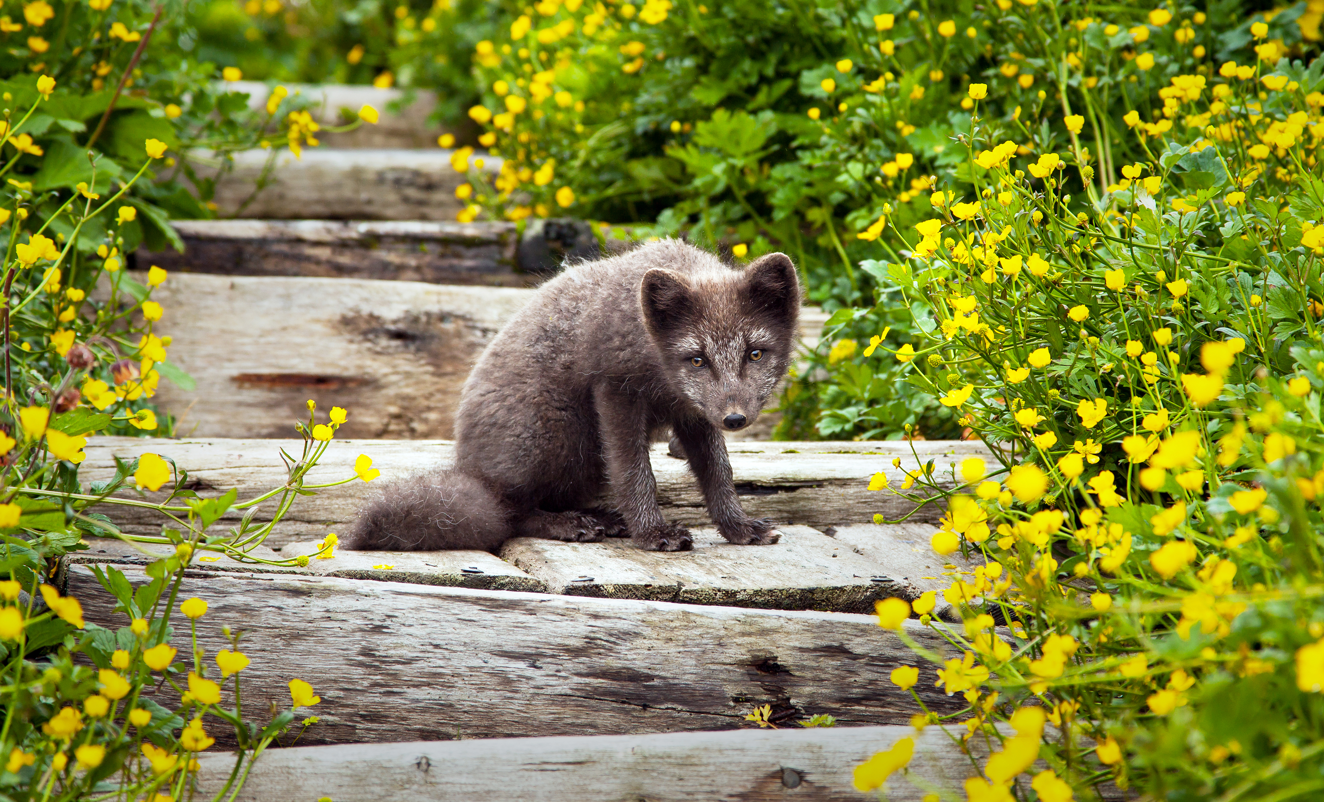 Fox in Westfjords