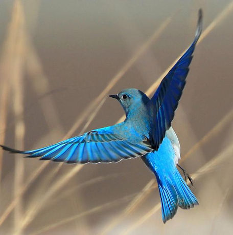 Mountain_Bluebird.jpg