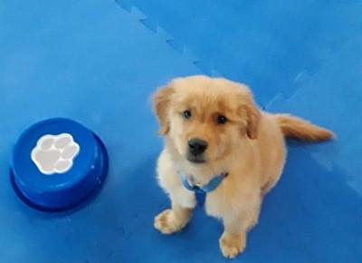 Golden puppy ready to work!