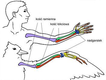anatomia reka.jpg