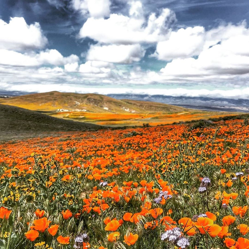 Antelope Valley California Poppy Reserve, USA | indian destinations that resemble foreign locations