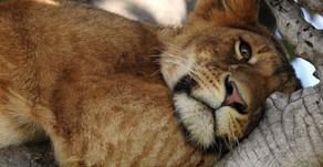 En jagt på løver og elefanter - En rejseskildring fra Kenya