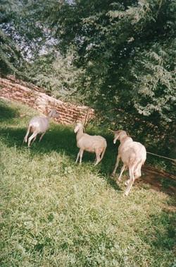 sheep-raising-with-revolving-credit-w640h480