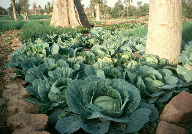 a-good-crop-of-cabbages-w640h480