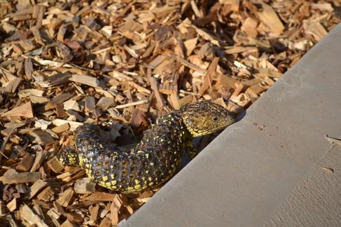 Native Shingleback Lizard