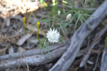 Native Wildflower