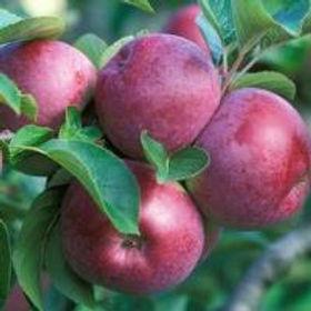 Burgundy apples on a branch