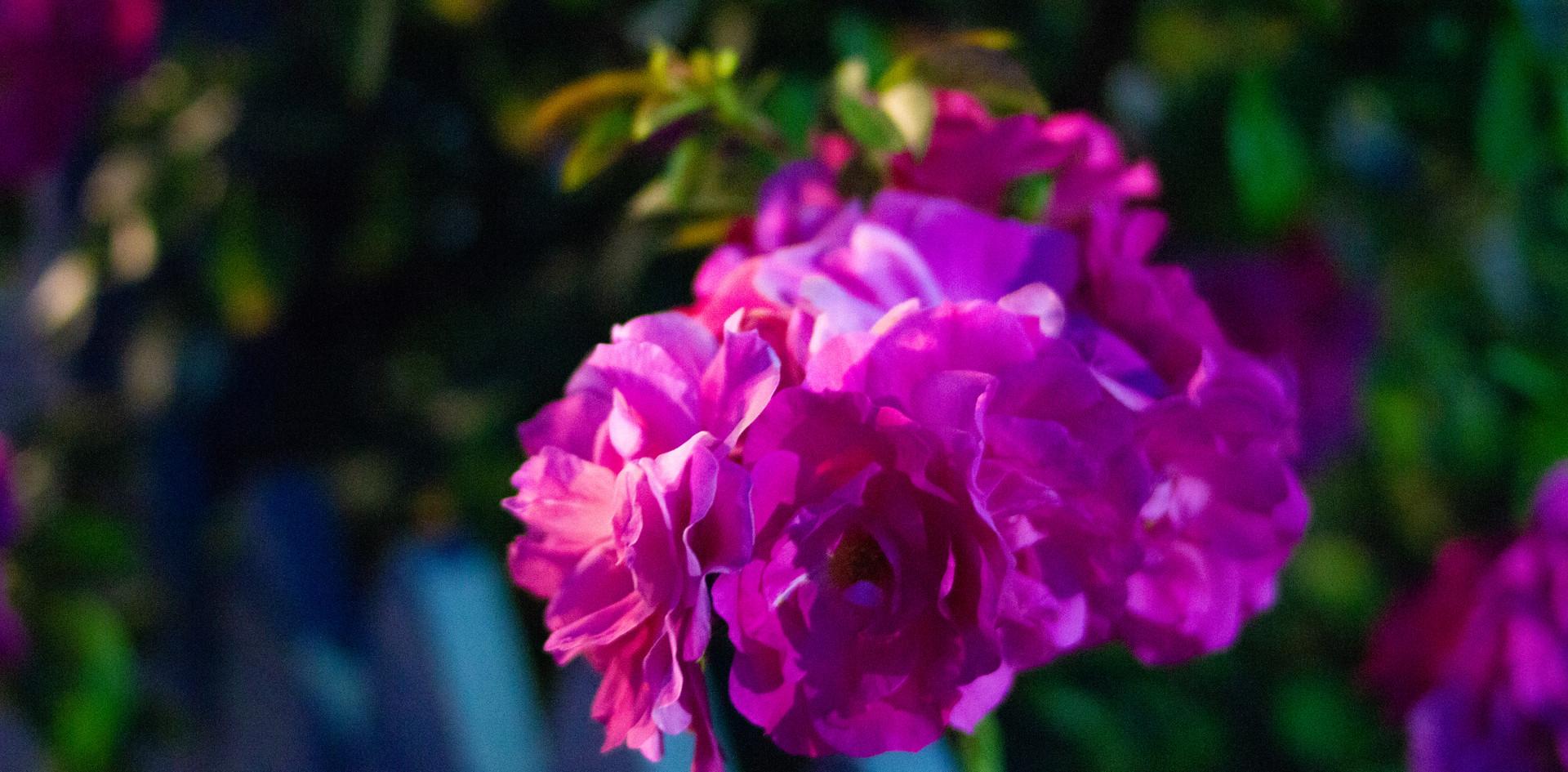 Pink night blooms