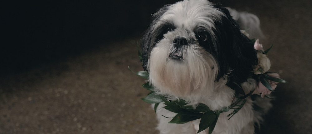 Film still of Shih Tzu dog!