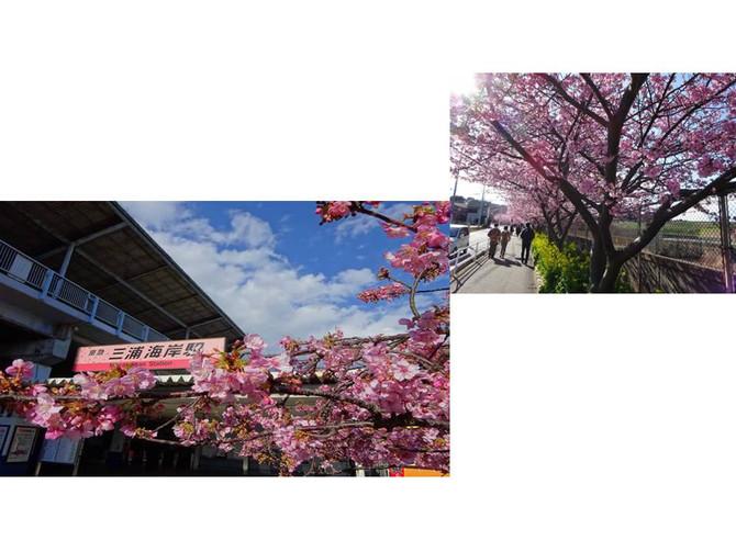 三浦海岸沿線の河津桜