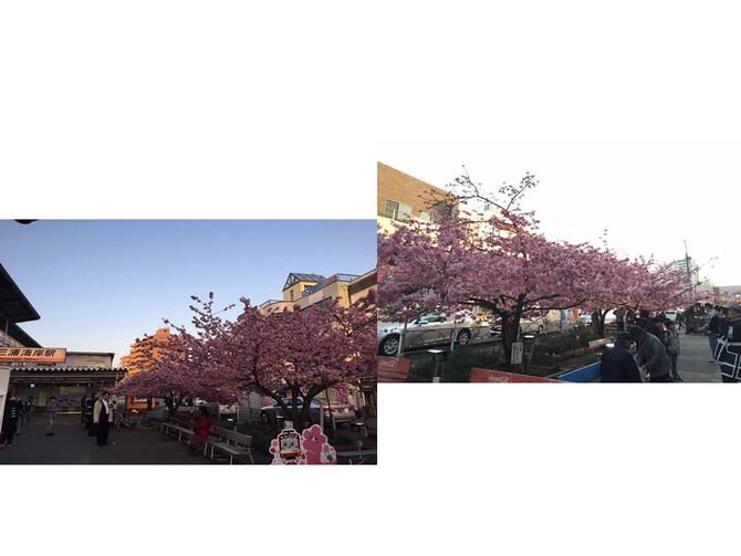 現在、河津桜が見ごろを迎えております。