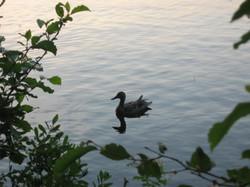 Canard sur la Ouareau