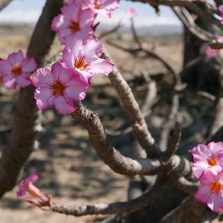 Mooie bloemen in Dhofar, Oman.JPG
