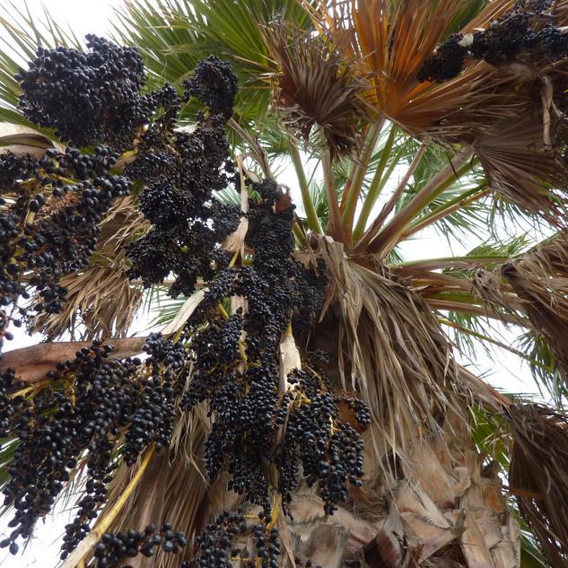 Vruchten vers van de boom.JPG