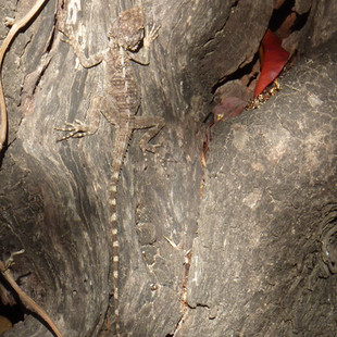 Reptiel in Botanische tuin Aphrodite.JPG