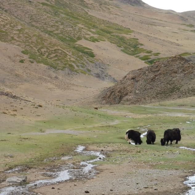 Yoinn am  yaks.JPG