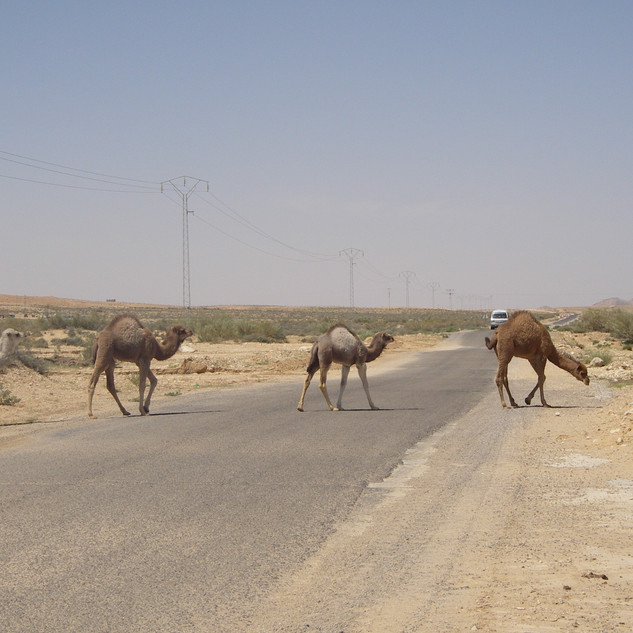 Kamelen op de weg.JPG