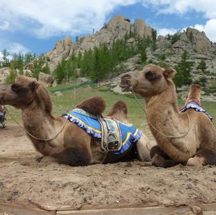 Met tweebultige kamelen op pad rondreis MOngolie Saffraan Reizen.JPG