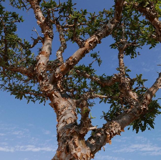 Wierookboom in Dhofar, rondreis Oman.JPG