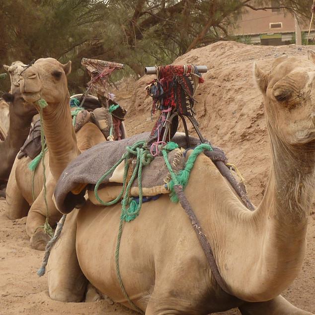 Kameelrijden, rondreis Marokko.JPG