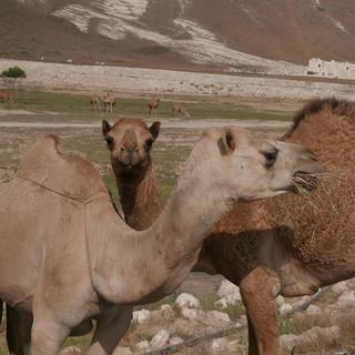 Kamelen in Dhofar, rondreis Oman.JPG