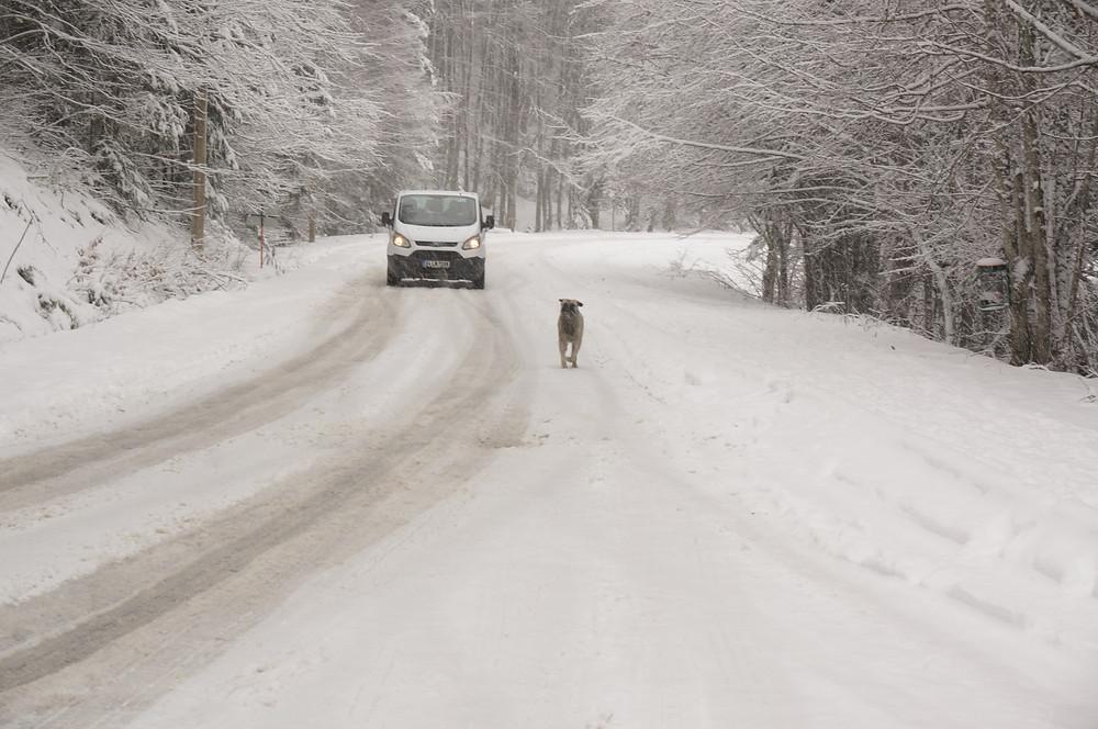 Stray dog, Abant under snow, Bolu, Turkey