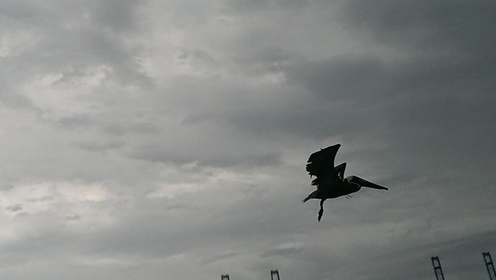 Pelican in Miami