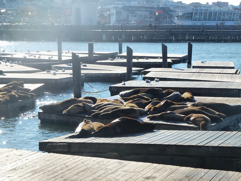 Seals by Pier 39
