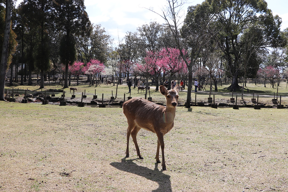 Free roaming deer of Nara, Japan