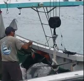 MAN CATCHES 1000 POUND FISH!