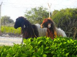 כבשים בפינת החי
