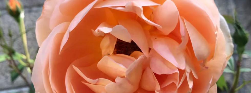薔薇_201113_14.jpg