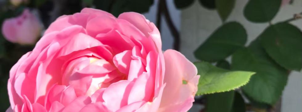 薔薇_201113_7.jpg