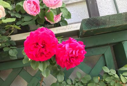 薔薇_201113_3.jpg