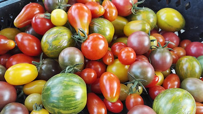 tomates mix multi color 01.jpg